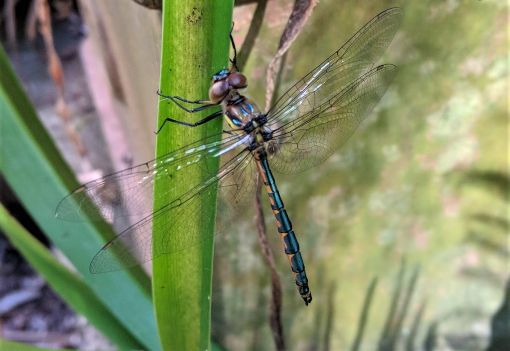 Dragonfly drying it's wings after metamorphosis